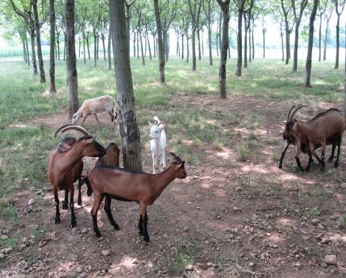goat5